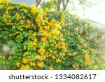 Blooming Yellow Bell Flowers O...