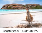 Stock photo kangaroo family mother and baby in bag at lucky bay in the cape le grand national park near 1334089697
