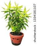 dracaena braunii   green lucky...   Shutterstock . vector #1334181107
