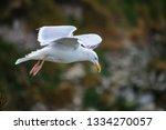 Stock photo herring gull cliff edge yorkshire coast 1334270057