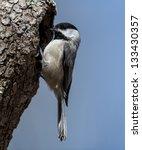 South Carolina Chickadee