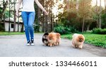 Stock photo dog walker enjoying with pomeranian dogs in park 1334466011