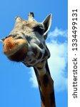 giraffe  giraffa camelopardalis ... | Shutterstock . vector #1334499131