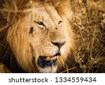 Male Lion Face With Wounds Fro...