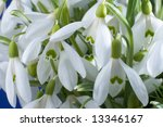 spring holiday snowdrop flowers ... | Shutterstock . vector #13346167