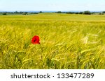 A Field Of Barley With A Singl...
