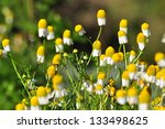 small sunny chamomile flowers... | Shutterstock . vector #133498625