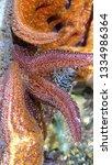 Orange Red Starfish