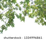 close up guava leaves isolated... | Shutterstock . vector #1334996861