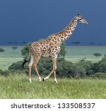 Giraffe On The Background Of A...
