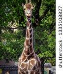 portrait of a giraffe  giraffa... | Shutterstock . vector #1335108827