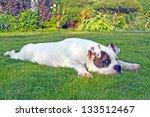 American Bulldog Relaxing And...