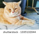 Small photo of British Shorthair cat sit down. scowl expression.