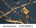 sparrow sitting on a cherry... | Shutterstock . vector #1335189821