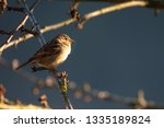 sparrow sitting on a cherry... | Shutterstock . vector #1335189824