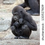 Gorilla Photographed In...