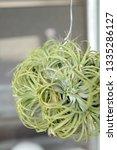 tillandsia ionantha hanging in... | Shutterstock . vector #1335286127