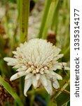 white flower etlingera elatior '... | Shutterstock . vector #1335314177