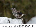 spotted nutcracker  nucifraga... | Shutterstock . vector #1335336014
