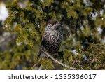 spotted nutcracker  nucifraga... | Shutterstock . vector #1335336017