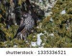 spotted nutcracker  nucifraga... | Shutterstock . vector #1335336521