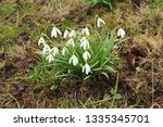 galanthus nivalis  the snowdrop ... | Shutterstock . vector #1335345701