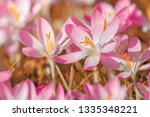 close up of pink crocuses on a...   Shutterstock . vector #1335348221