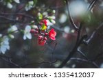 spring blooming quince.... | Shutterstock . vector #1335412037