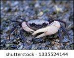 Crab Prince Or Sirindhorn Crab...
