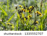 yellow blooming flowers on a... | Shutterstock . vector #1335552707