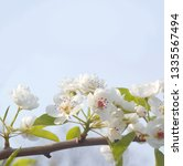 tree blossom white flowers with ... | Shutterstock . vector #1335567494