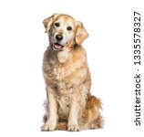 Stock photo golden retriever years old sitting in front of white background 1335578327