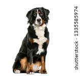 Stock photo bernese mountain dog sitting in front of white background 1335585974
