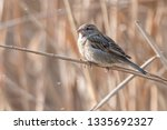 sparrow on reed at lake | Shutterstock . vector #1335692327