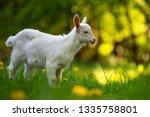 white baby goat standing on... | Shutterstock . vector #1335758801