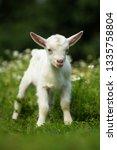 white baby goat standing on... | Shutterstock . vector #1335758804