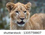 close up lion cub portrait in... | Shutterstock . vector #1335758807