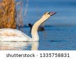 swan on blue lake water in... | Shutterstock . vector #1335758831