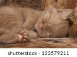 Stock photo small kitten sleeping sweetly on the bed his eyes were tightly closed and we can see his foot 133579211