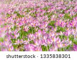 close up of pink crocuses on a...   Shutterstock . vector #1335838301