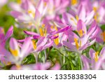 close up of pink crocuses on a...   Shutterstock . vector #1335838304