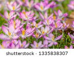 close up of pink crocuses on a...   Shutterstock . vector #1335838307