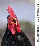 Small photo of Close up portrait of a chicken squawking