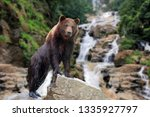bear stands on a stone on the... | Shutterstock . vector #1335927797