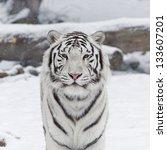 A White Bengal Cat Among...