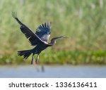 oriental darter flying on bueng ... | Shutterstock . vector #1336136411