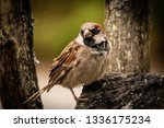 common house sparrow bird male... | Shutterstock . vector #1336175234