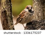 common house sparrow bird male... | Shutterstock . vector #1336175237