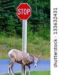 Bighorn Sheep Under A Stop Sig...