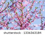 beautiful blooming peach trees... | Shutterstock . vector #1336363184